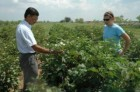 Field trial of low-gossypol cotton (Texas AgriLife Research, Kathleen Phillips)