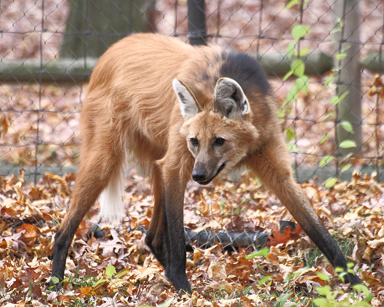 750px-Maned_Wolf_11,_Beardsley_Zoo,_2009-11-06