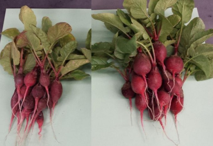 The radishes on the right were grown with the help of a bionic leaf that produces fertilizer with bacteria, sunlight, water and air. (credit: Nocera lab, Harvard University)