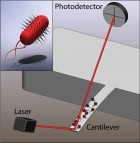 Illustration of a microcantilever sensor with E. coli bacteria attached and a close-up illustration of a single bacterium (inset). The motion of the bacteria couple to the cantilever and the cantilever motion is detected using the optical beam deflection technique. (Credit: L. Li and C. Lissandrello / Boston University)