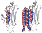 An abnormal protein, left, is intercepted by the UW's compound that can bind to the toxic protein and neutralize it, as shown at right (credit: University of Washington)