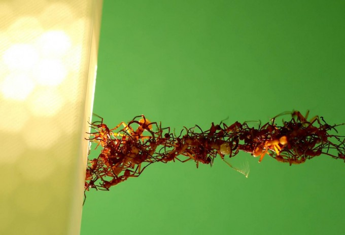 """Researchers from Princeton University and the New Jersey Institute of Technology report for the first time that the """"living"""" bridges army ants of the species Eciton hamatum (pictured) build with their bodies are more sophisticated than scientists knew. The ants automatically assemble with a level of collective intelligence that could provide new insights into animal behavior and even help in the development of intuitive robots that can cooperate as a group. (credit: Courtesy of Matthew Lutz, Princeton University, and Chris Reid, University of Sydney)"""
