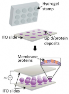 Schematic representation of production of arrays of controlled-size giant proteoliposomes by combining hydrogel stamping and electroformation techniques