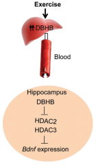 Exercise induces synthesis of a chemical called DBHB in the liver. In the hippocampus, DBHB induces Bdnf expression, which in turn has positive effects on memory, cognition and synaptic transmission. (credit: Sama F. Sleiman et al./eLife)