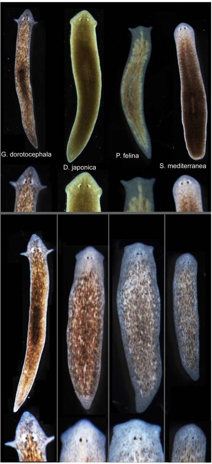 Tufts biologists induced one species of flatworm -- G. dorotocephala, top left -- to grow heads and brains characteristic of other species of flatworm, top row, without altering genomic sequence. Examples of the outcomes can be seen in the bottom row of the image. (credit: Center for Regenerative and Developmental Biology, School of Arts and Sciences, Tufts University.)