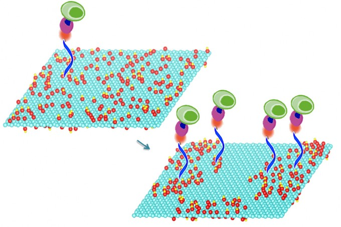 Mild heating of graphene oxide sheets makes it possible to bond particular compounds to the sheets' surface, a new study shows. These compounds in turn select and bond with specific molecules of interest, including DNA and proteins, or even whole cells. In this image the treated graphene oxide on the right is nearly twice as efficient at capturing cells as the untreated material on the left. (credit: Courtesy of the researchers)