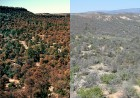 Pinyon pine forests near Los Alamos, N.M., had already begun to turn brown from drought stress in the image at left, in 2002, and another photo taken in 2004 from the same vantage point, at right, show them largely grey and dead. (Photo by Craig Allen, U.S. Geological Survey)