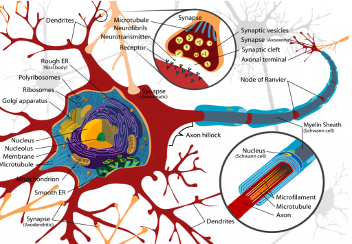 Neuron (credit: Wikipedia user LadyofHats, public domain)