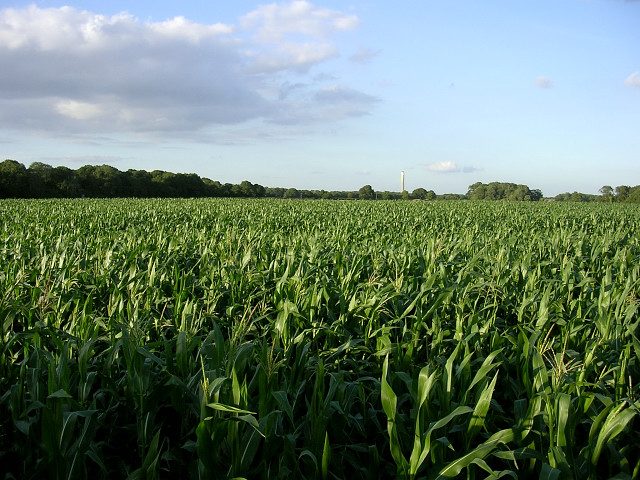 Corn_crop_west_of_Lepe_Farm,_Lepe_-_geograph.org.uk_-_33293
