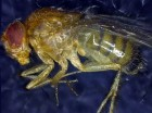 A deceased Drosophila melanogaster. (Credit: Institute for Cell Biology, University of Bern)