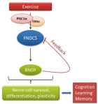 How exercise stimulates increased hippocampal BDNF gene expression. BDNF is the master regulator of nerve-cell survival, differentiation, and plasticity in the brain. This will lead to improved cognitive function, learning, and memory.