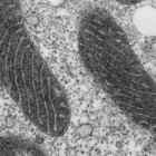 Electron microscope image of a mitochondrion