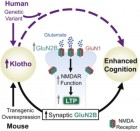 How Klotho enhances cognition (credit: Dena B. Duval/Cell)