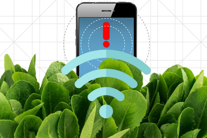 By embedding spinach leaves with carbon nanotubes, MIT engineers have transformed spinach plants into sensors that can detect explosives and wirelessly relay that information to a handheld device similar to a smartphone. (credit: Christine Daniloff/MIT)