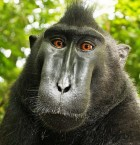 Macaca nigra self-portrait (credit: Wikimedia Commons)