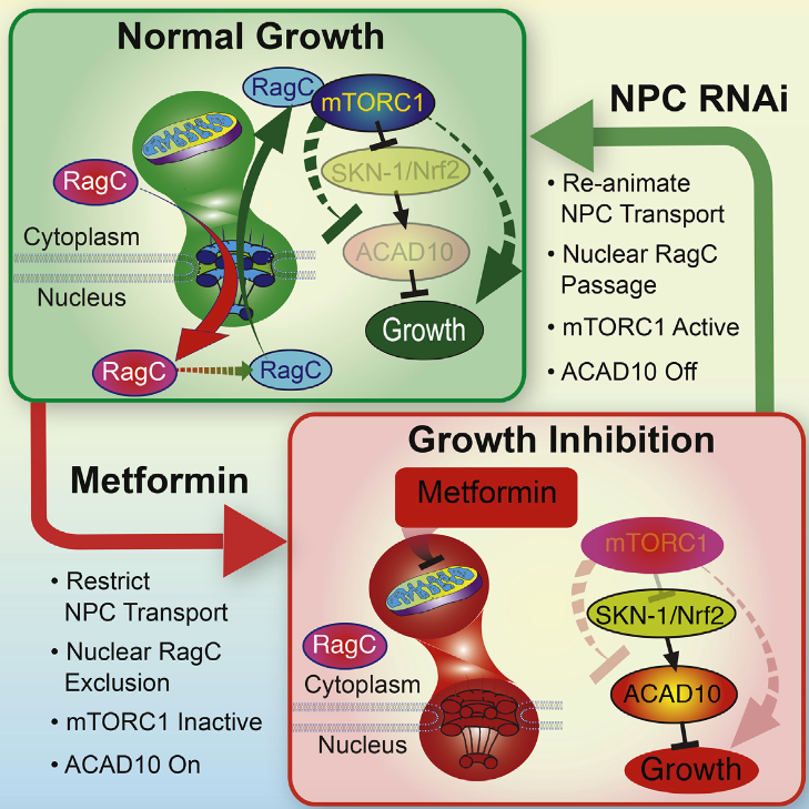 How diabetes drug metformin prevents, suppresses cancer growth