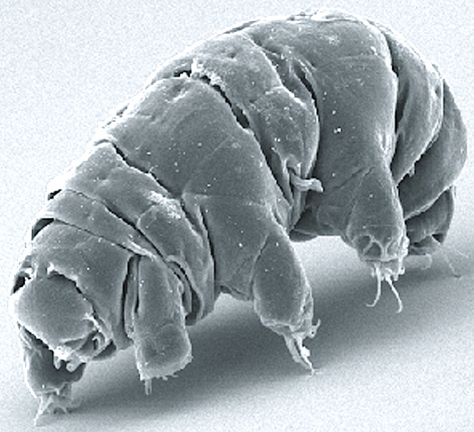 Imagine what this microscopic (0.2 to 0.7 millimeter) milnesium tardigradum animal could evolve into on another planet (credit: Wikipedia)