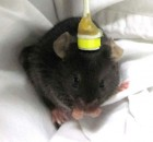 A mouse (happy and awake) receiving LI-rTMS (credit: University of Western Australia)