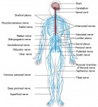 Peripheral nervous system (credit: Wikimedia Commons)