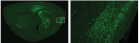 Virus-induced optogenetic labeling of neurons. Right: closeup of rectangular area.  (Credit: Sheng-Jia Zhang et al./Science)