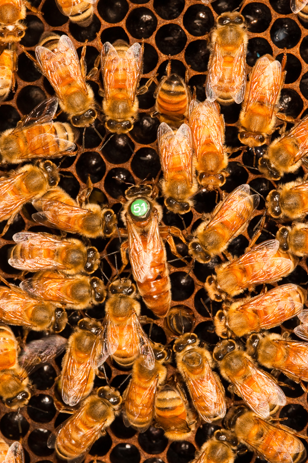 Queen bee and workers_in nest_1