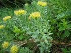 Rhodiola rosea (golden root) is a plant in the Crassulaceae family that grows in cold regions of the world.