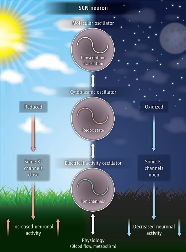 metabolism in the brain fluctuates with circadian rhythm