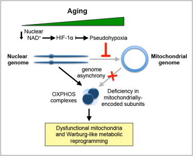 A new - and reversible - cause of aging | KurzweilAI