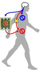 An artificial connection from brain to locomotion circuit (credit: Yukio Nishimura)