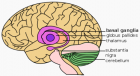 Basal ganglia (credit: Wikimedia Commons)
