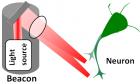 "Illustration of the ""neuronal beacon"" for guiding axon growth direction (credit: B. Black et al./Optics Letters)"