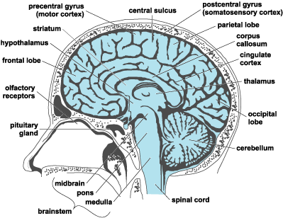 brain diagram blue