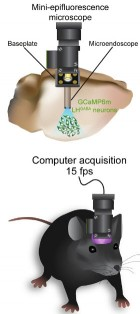 Integration of the miniepifluorescence microscope with the microendoscope for deep-brain imaging of LH GABAergic neurons expressing GCaMP6m (credit: Joshua H. Jennings et al./Cell)