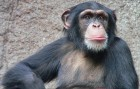 Chimpanzee (credit: Thomas Lersch/Wikimedia Commons)