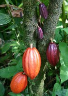 Cocoa pods (credit: Wikimedia Commons)