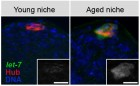 delay_aging_stem_cells