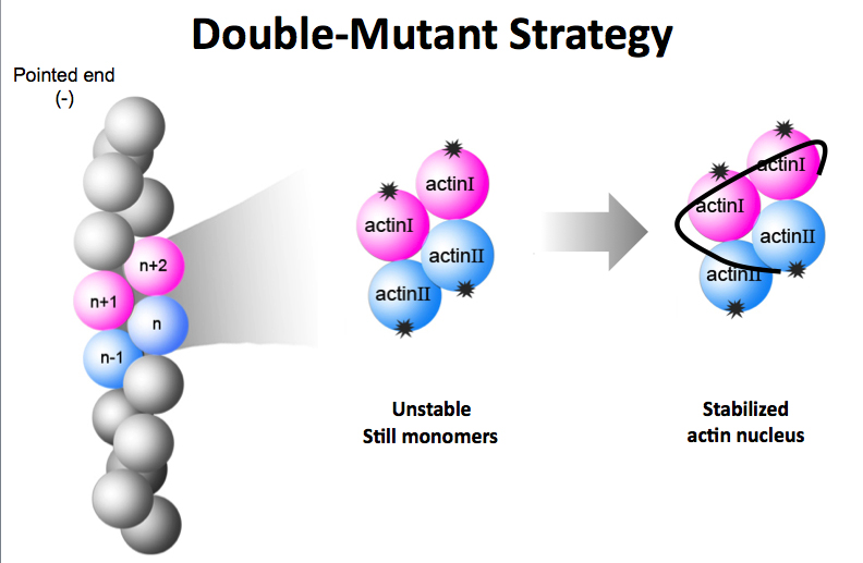 double_mutant_strategy
