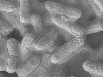 A microscopic image of E. coli bacteria (credit:Institute of Bioengineering and Nanotechnology)