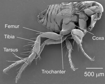 The anatomy of a flea. Credit: Gregory Sutton