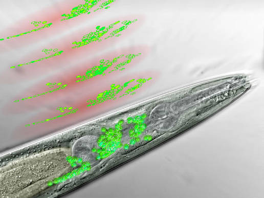 frontal_part_nematode