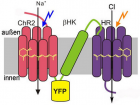 Molecular combination switch: two light-sensitive membrane proteins (red and purple) are linked via a connecting piece (green) and anchored into the cell wall (left). When the cell is illuminated with blue light, it allows positively charged ions in. Orange light has the opposite effect, allowing negatively charged ions into the cell. The cell is activated or deactivated, respectively (right). (Credit: MPI of Biophysics)