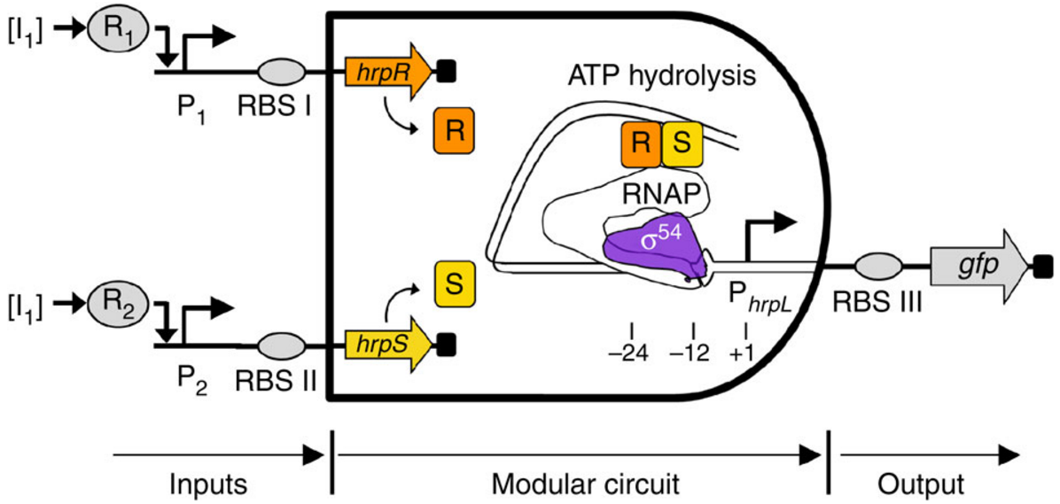 Gene circuits in live cells that perform complex analog/digital computations