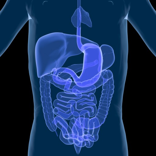 Gastrointestinal system (credit: iStockphoto)