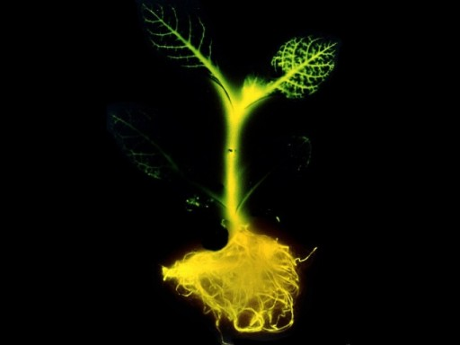 A glow-in-the-dark tobacco plant (credit: Science)