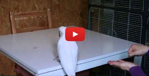 goffin_cockatoo_video
