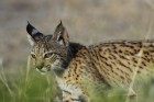 Iberian lynx, the most endangered wildcat in the world (credit: IZW)