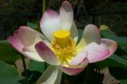 Nelumbo nucifera from China, more commonly known as the &#039;sacred lotus&#039;<br /> (Credit: Jane Shen-Miller /UCLA)