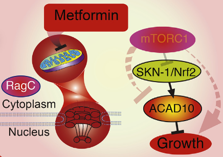 Metformin growth inhibition process (credit: Lianfeng Wu et al./Cell)