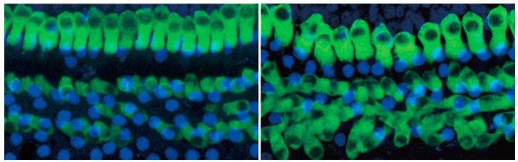 mice_hearing_cells_regrow