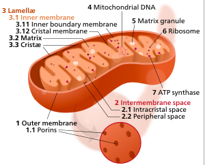 Components of a typical mitochondrion (credit: Kelvinsong/Creative Commons)